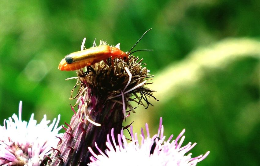 Insect Flower Close-up Nature Soldier Beetle Insects  Bempton Cliffs Beetle Wildlife Wildlife Photography