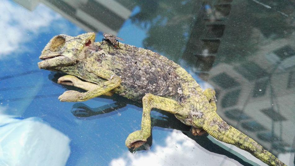 Bug Death Animal Themes Animal Wildlife Animals In The Wild Chamaeleon Day One Animal Reptile