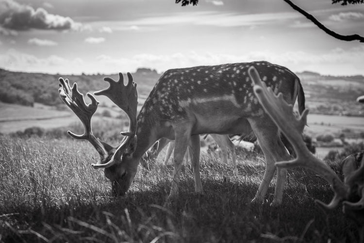 Animal Themes Animal Wildlife Animals In The Wild Day Deer Deers Field Grass Grazing Mammal Nature Outdoors Stag The Great Outdoors - 2018 EyeEm Awards