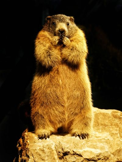 The Marmot ..... Eyeemphotography Mormot Murmeltier Nature Fotografia Fotografie Black Background Meerkat Close-up