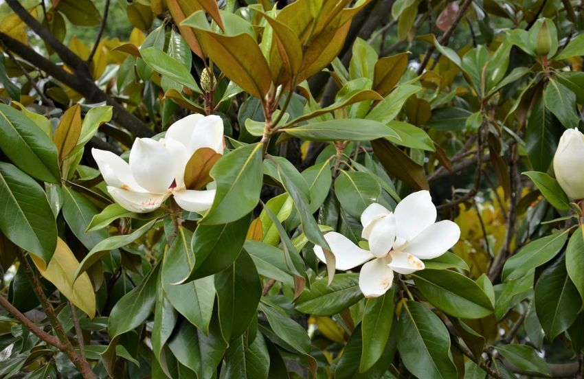 Magnolia Tree Magnolia_Blossom Beauty In Nature Close-up Day Flower Flower Head Flowering Plant Fragility Freshness Green Color Growth Inflorescence Leaf Nature No People Outdoors Petal Plant Plant Part Softness Spring Vulnerability  White Color White Flower
