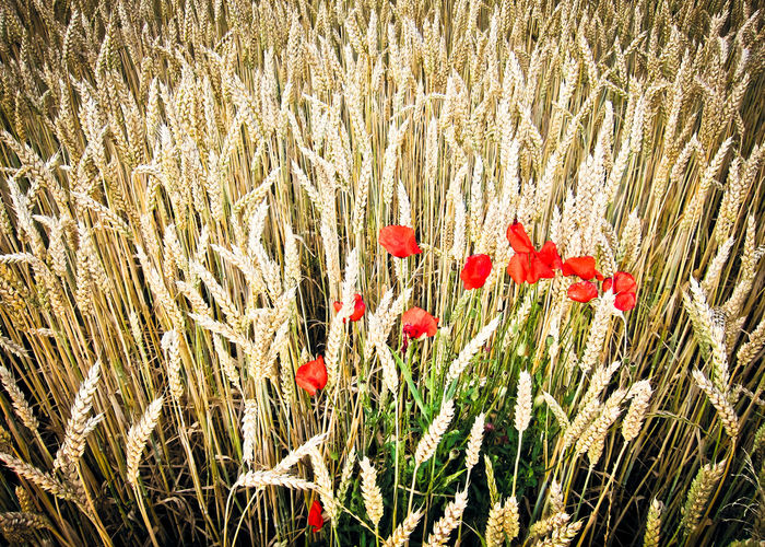 Agriculture Cereal Plant Close-up Day Farm Field Gold Growth Nature No People Outdoors Plant Poppy Red Relaxing Moments Rural Scene
