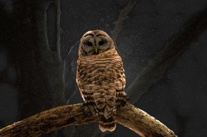 Night Owl Animal Themes Animal Wildlife Animals In The Wild Bird Branch Night Owls One Animal Owl Owl Eyes Perching Starry Night Owl