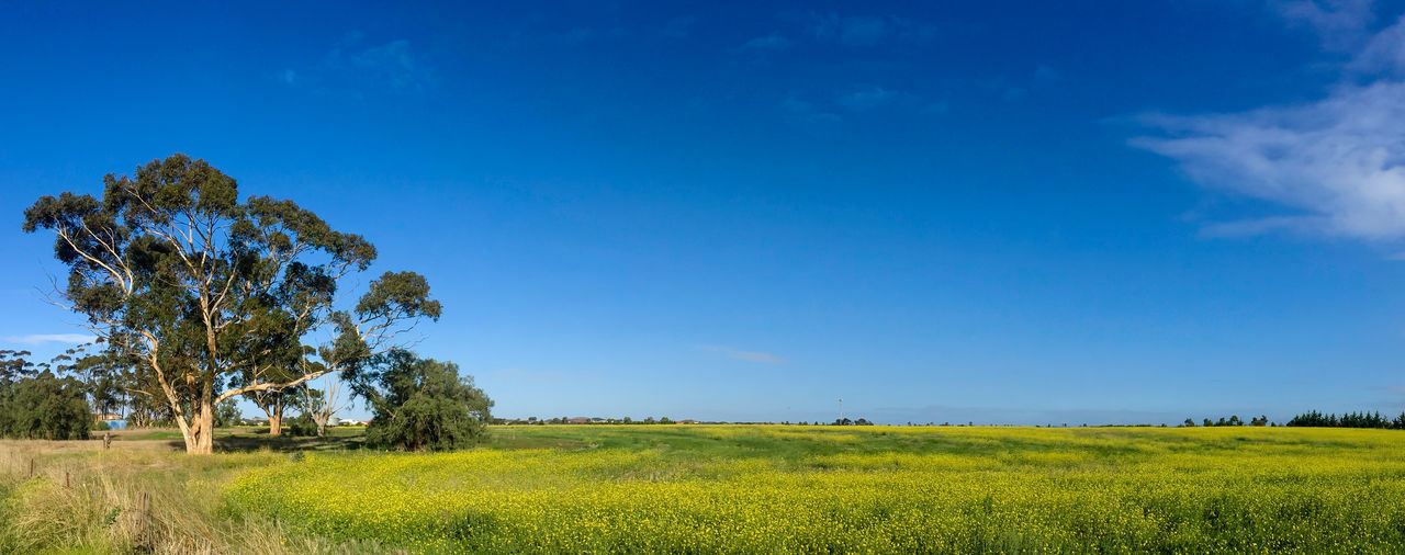 Yellow Canola field with Gumtree Clear Sky Melton Wood Doncaster Beauty In Nature Blue Canola Canola Field Canola Flowers Clear Sky Day Field Grass Green Color GumTree Landscape Meadow Nature No People Outdoors Rural Scene Scenics Sky Summer Tree Yellow