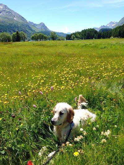 Golden Retriever Maggie Dog