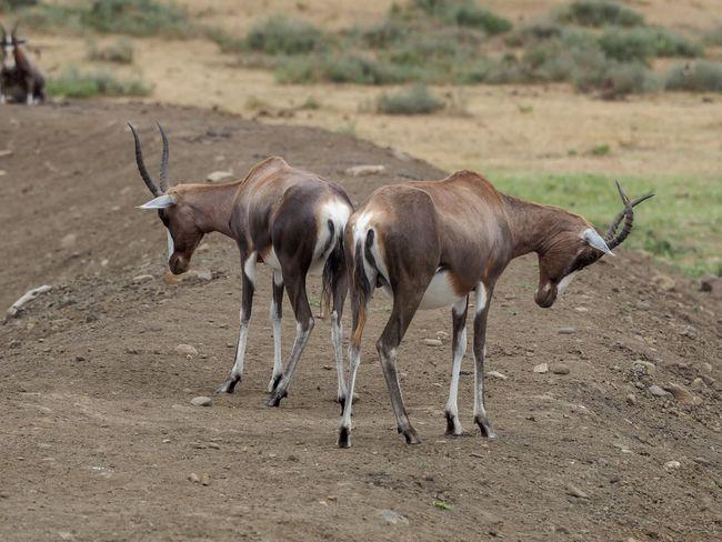 Sleeping Animal Themes Animal Wildlife Animals In The Wild Antelope Day Full Length Mammal Nature No People Outdoors Safari Animals Standing Walking