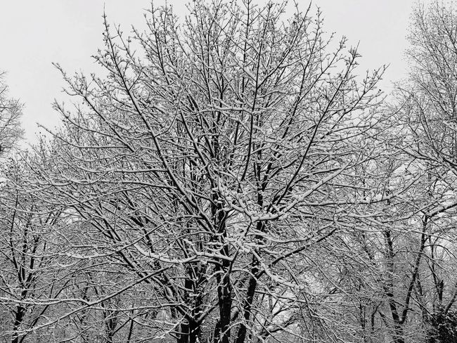 Tree Bare Tree Nature Branch Sky No People Growth Clear Sky Tranquility Outdoors Tranquil Scene Low Angle View Day Beauty In Nature Scenics Snow