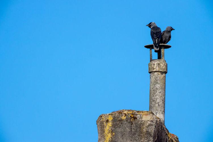 Low angle view of bird perching on wooden post against blue sky