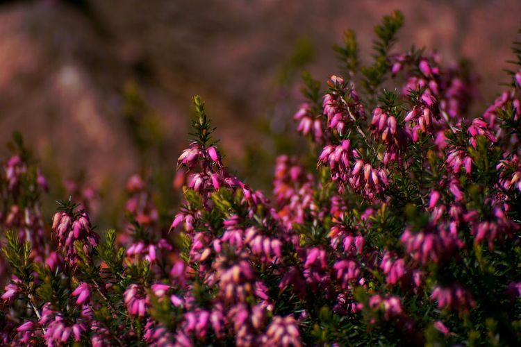 Heath Flower Growth Fragility Purple Purple Flower Plant Nature Petal Beauty In Nature Freshness No People One Animal Outdoors Day Flower Head Close-up Pollination Blooming Heath Flower Canonphotography The Great Outdoors - 2017 EyeEm Awards