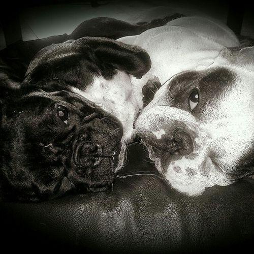 Dog Love Dogstagram Cute♡ Sleeping Dog French Bulldog Frenchie My French Bulldog <3