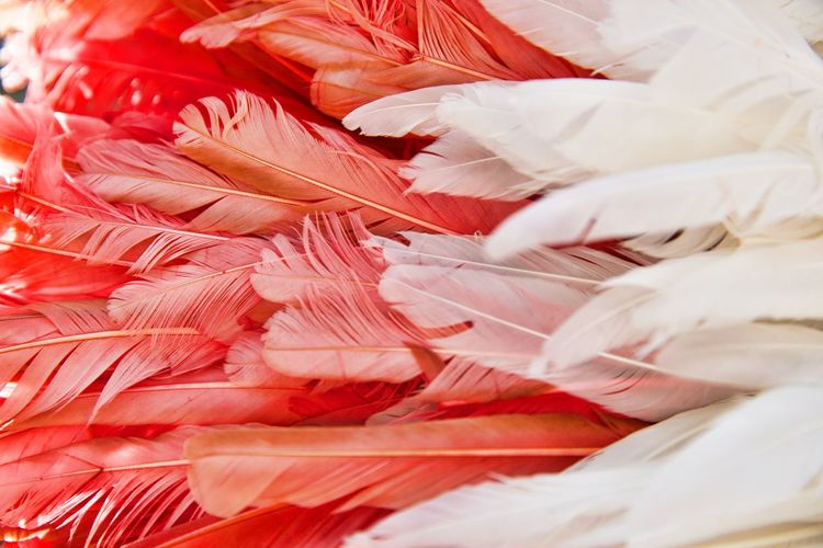 Backgrounds Feather  No People Full Frame Close-up Softness Abundance Red And White Decoration
