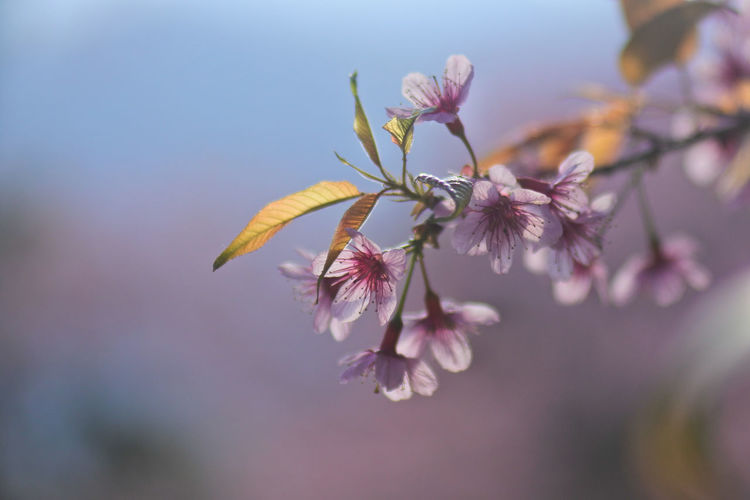 Close-up of cherry blossoms outdoors