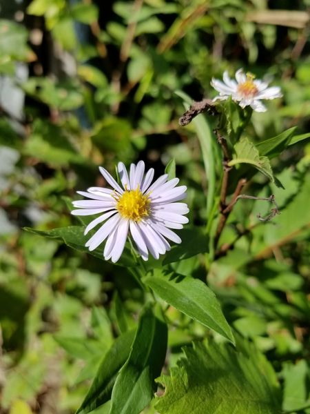 Daisy 💐 Daisy Flower Daisy Blooming My Backyard Look At This Naturelovers Wildflowers In Bloom EyeEm Nature Lover Eyem Flowers Spring Flowers Mothernature Eyem Gallery Growth Wildlife My Photography Flower Fragility Petal Plant Beauty In Nature Freshness Close-up Green Color Flower Photography Weed Flowers Weeds Are Beautiful Too Wild Flower Beauty Wild Flowers 💐 Wild Flower Photography My Point Of View.