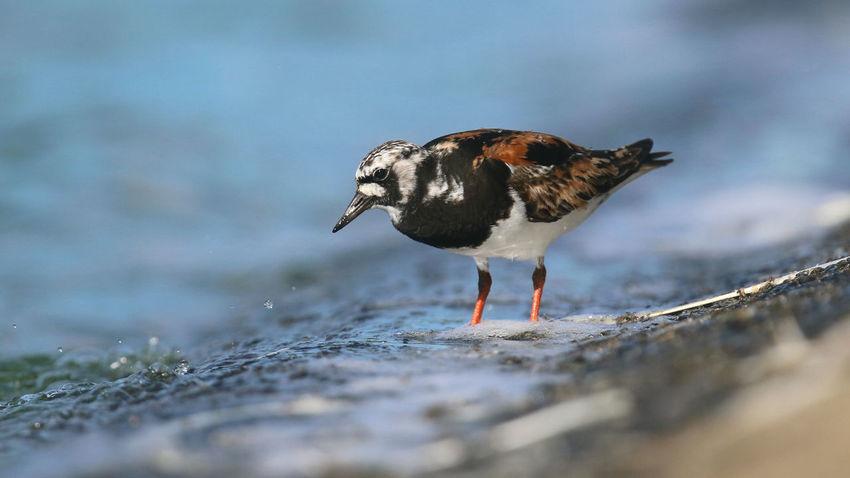 Aves Bird Photography Birds Of EyeEm  Farmoor Reservoir Turnstone Animal Wildlife Bird Birds Nature Wader Waders Water