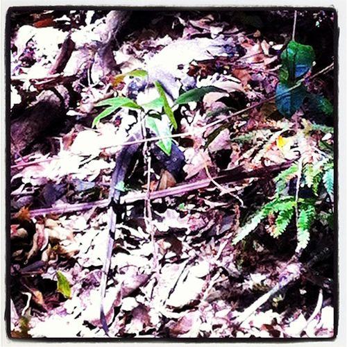 Lacemonitor Goanna Lizard Reptile