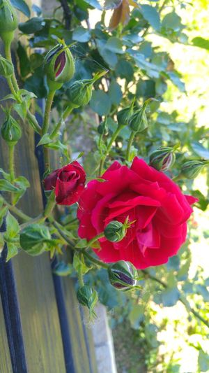 Rose is a rose is a rose Flower Rose - Flower Day Beauty In Nature Close-up Flower Head
