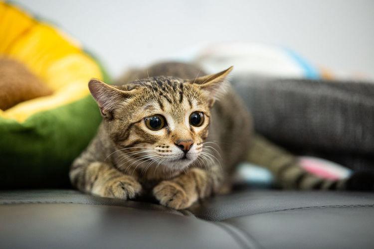 Portrait of a cat lying down on sofa