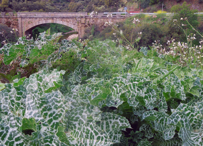 Eine Brücke über den Rio del Pueblo Pardillo Arch Arch Bridge Beauty In Nature Bridge View CastillaLaMancha Connection Green Color Growth Lush Foliage No People Plant Scenics SPAIN Stone - Object Tranquil Scene Tranquility
