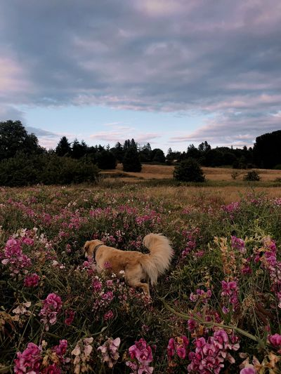 Golden retriever dog wandering through wildflowers in a field at sunset Wildflower Wild Explore Pets Dog Plant Flower Flowering Plant Beauty In Nature Growth Freshness Fragility Sky Nature Field Cloud - Sky Tranquility Landscape Pink Color Tranquil Scene No People Environment Land