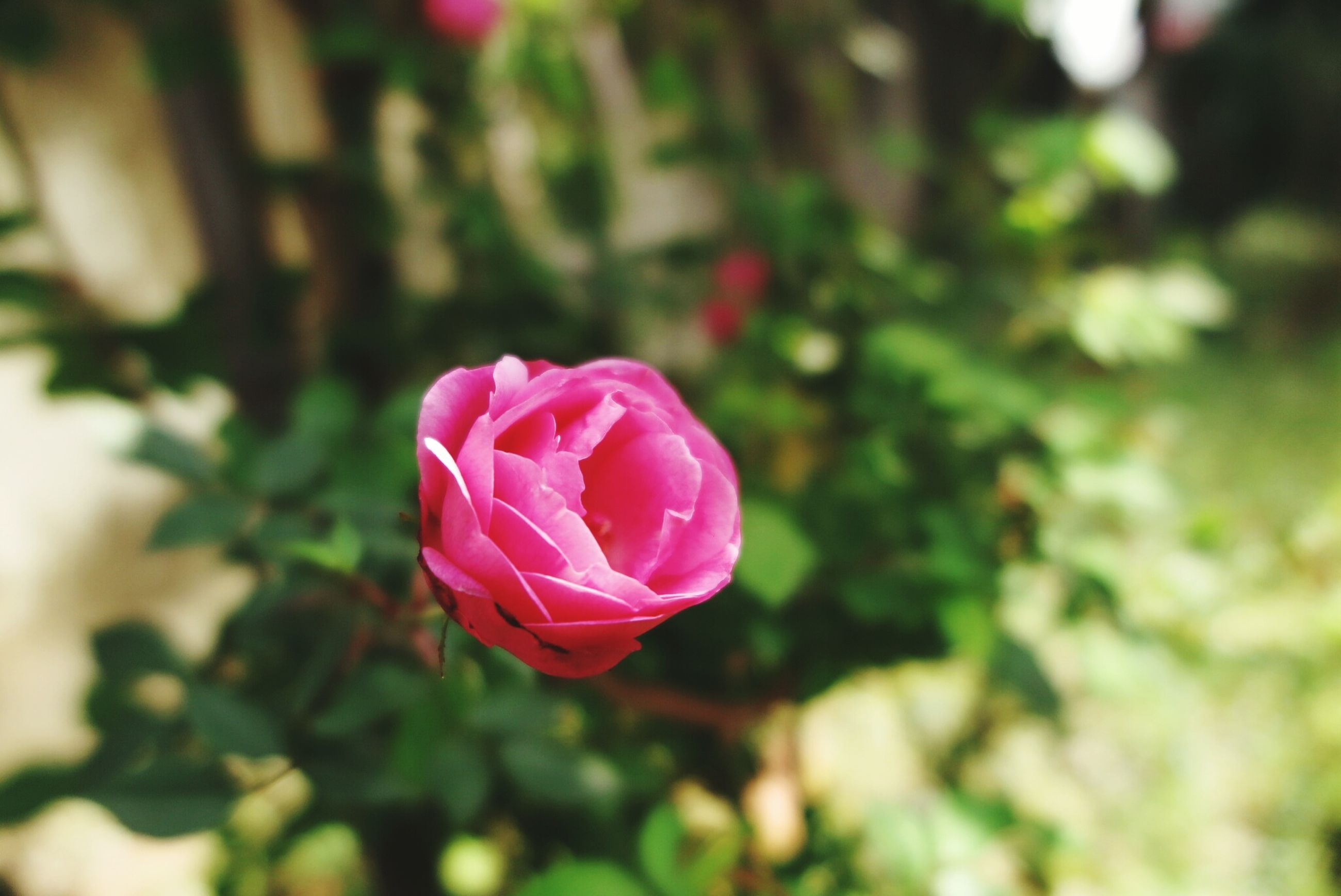 flower, petal, flower head, fragility, freshness, rose - flower, focus on foreground, pink color, growth, beauty in nature, close-up, single flower, blooming, nature, red, plant, in bloom, selective focus, rose, pink