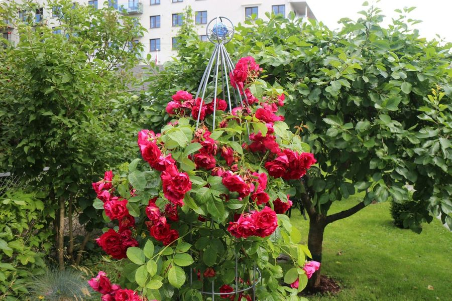 Roses🌹 Breaking Free Collection Having Fun Taking Pictures From My Neighborhood. NofilternoeditCanon Eos  Enjoying Life Norway ✌ Oslo Nature On Your Doorstep