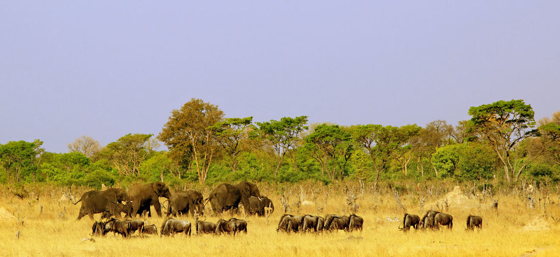 Animal Wildlife Animal Animals In The Wild Animal Themes Mammal Nature No People Day Group Of Animals Large Group Of Animals Sky Tree Field Landscape Clear Sky Herbivorous Outdoors Herd Elephants Wildebeest