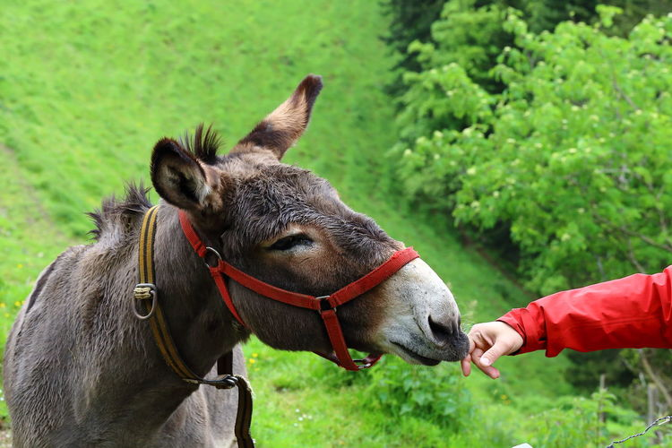 Portrait of a curious donkey making contact. Hillwalk in Switzerland. Two Is Better Than One Animal Head  Animal Themes Careful Close-up Communication Connection Contact Curiosity Domestic Animals Donkey The Magic Mission Grass Green Hand Interaction Original Experiences Mindful Nature Nature's Diversities Outdoors Peaceful Pivotal Ideas Red Trust