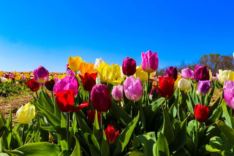 Close-up of multi colored tulips in bloom