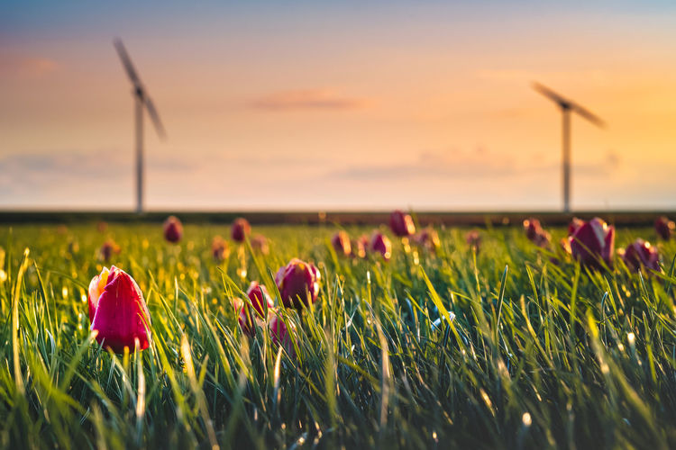 Plant Beauty In Nature Flower Flowering Plant Nature Land Field Sky Growth Environment Red Freshness Grass Selective Focus Close-up Rural Scene Landscape Environmental Conservation Sunset Outdoors Springtime
