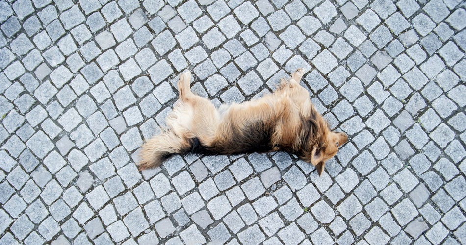 Cobblestone Corgi Cute Dog Exercise Exhausted Golden Golden Dog Laying Lazy Outdoors Pattern Pets Relaxation Sleep Tire Traii Tyring To Be Hot Upside Down