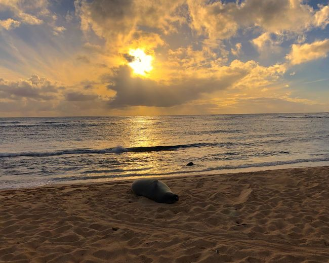 Hawaii Kauai Hawaii Yellow Sky One Animal Sea Lion Beach Sunset Sand Sea Shore Nature Beauty In Nature Water Horizon Over Water Scenics Tranquil Scene Cloud - Sky Sky Outdoors Tranquility Sun No People Wave Day