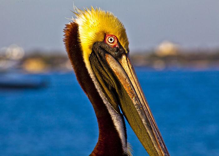 Close-up of pelican against sea