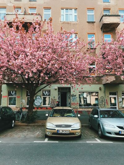 Pink cherry blossom on street by building