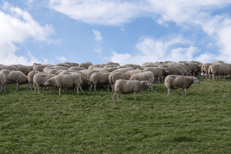 Agriculture Animal Animal Themes Cloud - Sky Domestic Domestic Animals Environment Field Flock Of Sheep Grass Group Of Animals Herbivorous Herd Land Landscape Large Group Of Animals Livestock Mammal No People Pets Plant Sheep Sky