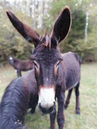 Donkey Animal Tier Esel Gesicht Face Nahaufnahme Landwirtschaft Portrait Ear Looking At Camera Close-up Donkey