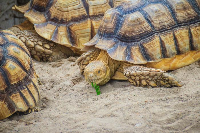 African spurred tortoise (Centrochelys sulcata), also known as the sulcata tortoise. African Spurred Centrochelys Centrochelys Sulcata Sulcata Sulcata Tortoise Tortoises Turtle Cuteness Turtle 🐢 Turtles African Safari African Spurred Tortoise Tortoise Tortoise Shell Tortoiseshell Turtle Turtleneck