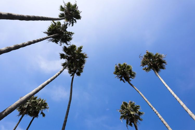 low angle view of palm trees against a blue sky Plant Tree Sky Low Angle View Growth Nature Day No People Blue Tree Trunk Trunk Cloud - Sky Palm Tree Outdoors Beauty In Nature Tall - High Tranquility Tropical Climate Branch Directly Below Palm Leaf Coniferous Tree Tropical Tree