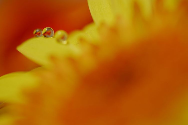Sony α♡Love SONY SEL90M28G SONY ILCE-7M2 Close-up No People Plant Flower Freshness Growth Flowering Plant Yellow Selective Focus Water Extreme Close-up Macro Orange Color