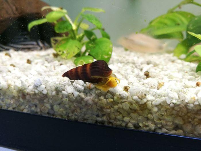 Rabbit Snail Aquarium