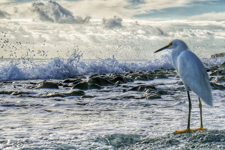 Snowy Egret Perching On Sea Against Sky