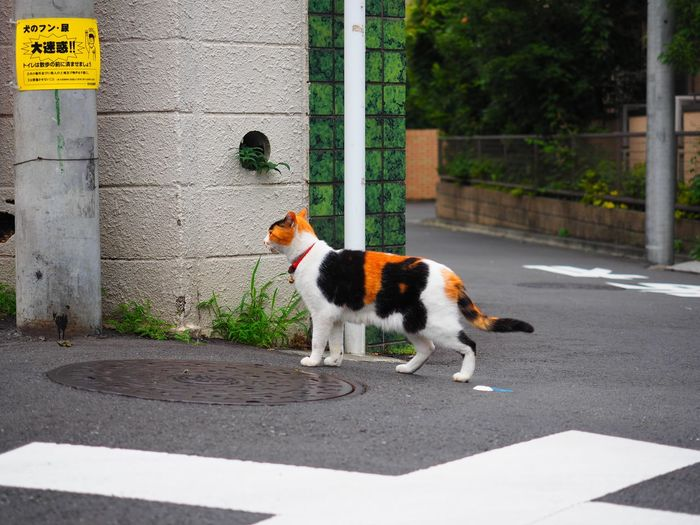 Side view of cat standing on street by manhole