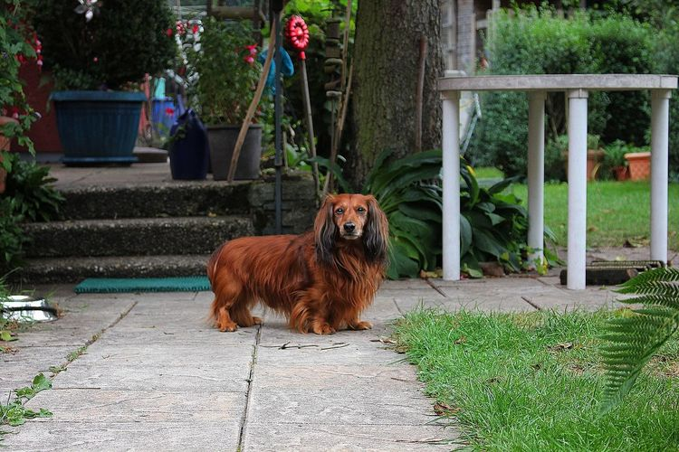 Animal Themes Domestic Animals One Animal Outdoors Dog Dogs Teckel Benito Werner Motombo's World Portrait Garden Model Small Cute Cute Pets Pets