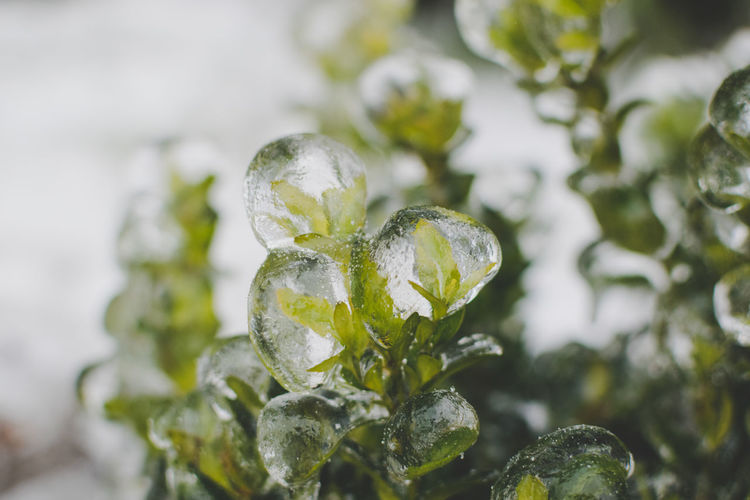 Close-up No People Nature Growth Selective Focus Plant Leaf Focus On Foreground Green Color Plant Part Ice Cold Temperature Frozen Freshness Precious Gem Purity Frozen Nature Garden In Winter
