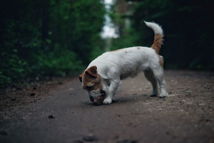 Dog eating pinecone while standing on dirt road in forest