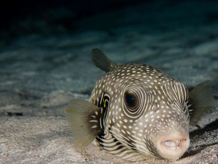 Animals In The Wild Big Eyes Boxfish Brown Brown Eyes Close-up Fish Fish'n'Chips❤ No People One Animal Resting Sandy Bottom Sea Life Swimming Underwater Wildlife