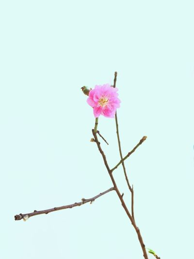 Flower Pink Color No People Freshness Petal Low Angle View Flower Head HongKong Hong Kong Hkig Tsuistyle Photography EyeEmNewHere Still Life Beauty In Nature Fragility Nature Close-up Plum Blossom Winter Sweet Wintersweet White Background Lines And Shapes LINE (null) EyeEmNewHere Millennial Pink Art Is Everywhere