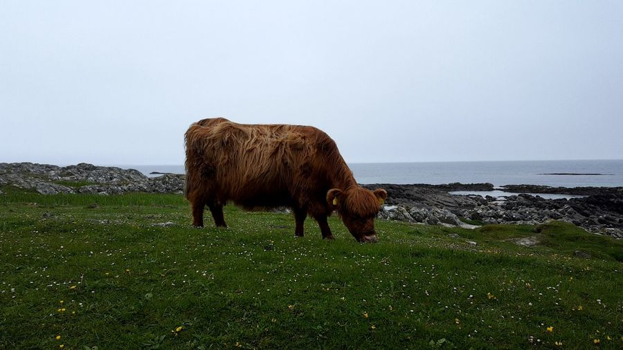 Live Free Engineer Scotland Argyll And Bute Tiree Coo Highland Cow Animal Themes Grass Sky Highland Cattle Grazing Pasture Livestock Horned Cattle