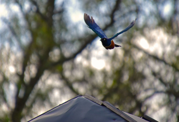 Superb Starling taking flight Bird Photography Nature Action Animal Themes Beauty In Nature Bird Birds Branch Close-up Day Flap Flight Flying Low Angle View Mid-air Nature No People Outdoors Spread Wings Starling Superb Starling Tree