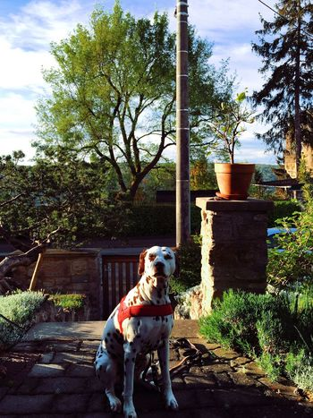 Dalmatian Betty Morning Sunlight I Love My Dog