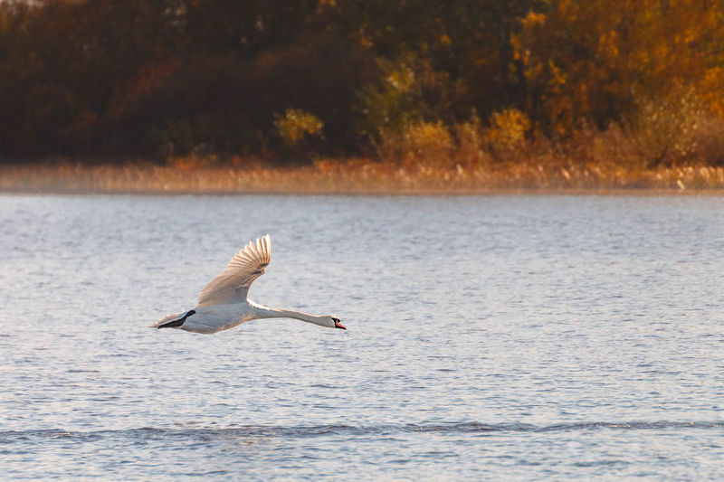 Flying Swan Animals Balance Beauty In Nature Bird Calm Carefree Escapism EyeEm Nature Lover Lake Lakeshore Nature Outdoors Reflection Relaxing Rippled Scenics Sea Tranquil Scene Tranquility Water Waterfront Zoology